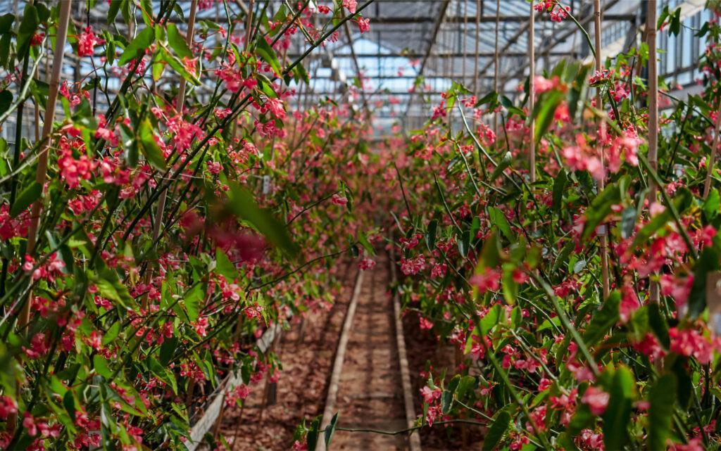 Edible Flowers Micro Leaves